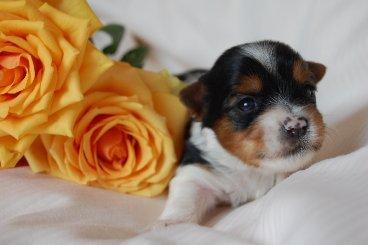 Biewer Yorkshire Terrier - Бивер Йоркширский терьер