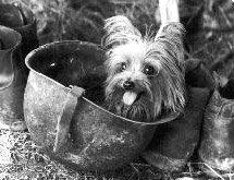 Йоркширский терьер Smoky, самая известная собака терапевт
