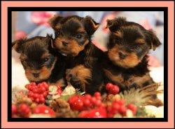 Очаровательные щенки йоркширского терьера, питомник И-Лайн