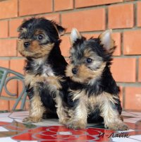 Продаются веселые щенки