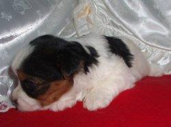 Предлагаем чудесных щенков бивер йорков (Украина, Германия)