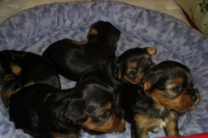 Выращенные с особой заботой щенки йоркширского терьера