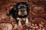 Продается щенок (Кобель) Йоркширского терьера