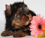 Йоркширского терьера красивые щенки