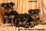 Йорки щенки