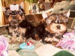 йоркширский терьер мини.щенки.
