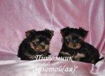 Очаровательные щенки Йоркширского терьера