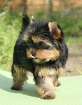 щенок йоркширского терьера - девочка