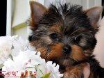 Великолепные щенки Йоркширского Терьера