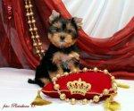 красивые щенки йоркширскоготерьера,РКФ
