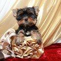 Йоркширский терьер щенки клубные, красивые, выбор