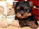 Красивые щенки йоркширского терьера ,вязки