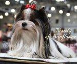 Бивер йорка и йорка красивые породные щенки в Москве