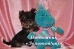 Йоркширский терьер кукольные щенки мини и стандарт беби фейс  купить