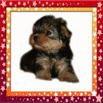 Йоркширский терьер милые щеночки