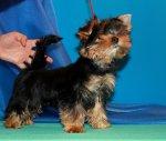 Йоркширский терьер породные щенки