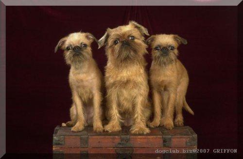 Гриффоны - три породы собак в одной