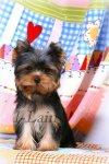 Йоркшисркией терьеры - породные, качественные щенки!