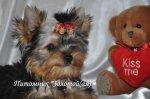 Йоркширский терьер щенки с кукольными мордочками бэби фейс