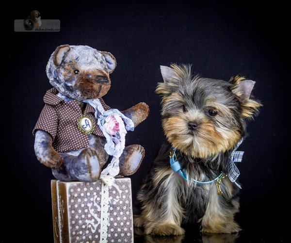 Йоркширский терьер  кукольная подрощенная мини девочка