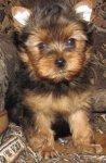 Йоркширского терьера продаются щенки мальчики.