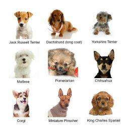 Декоративные собачки